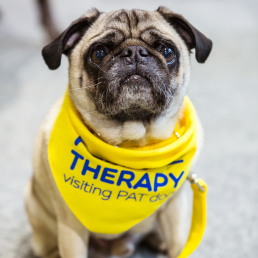 Pets As Therapy pug